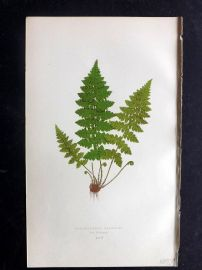 Lowe 1869 Antique Fern Print. Cystopteris Fragilis 65